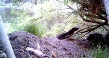 Primer registro de nutria de río (Lontra longicaudis) en el APFF Campo Verde en Chihuahua