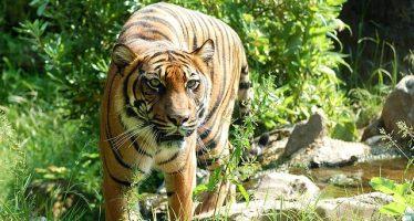 India aumenta su población de tigres en un 30% en cuatro años