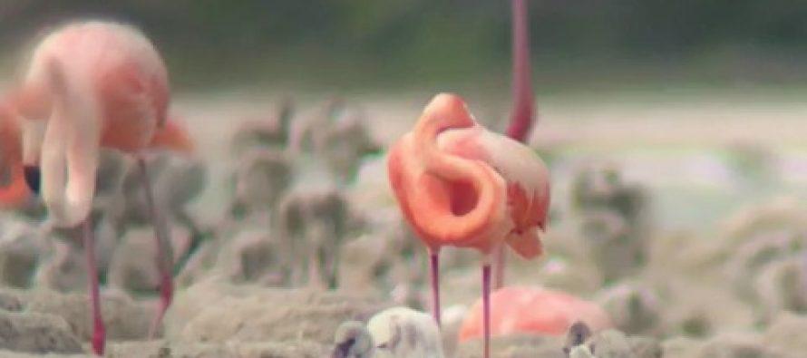 Anidan más de 30 mil flamencos (Phoenicopterus ruber), en la Reserva de la Biósfera Ría Lagartos en México