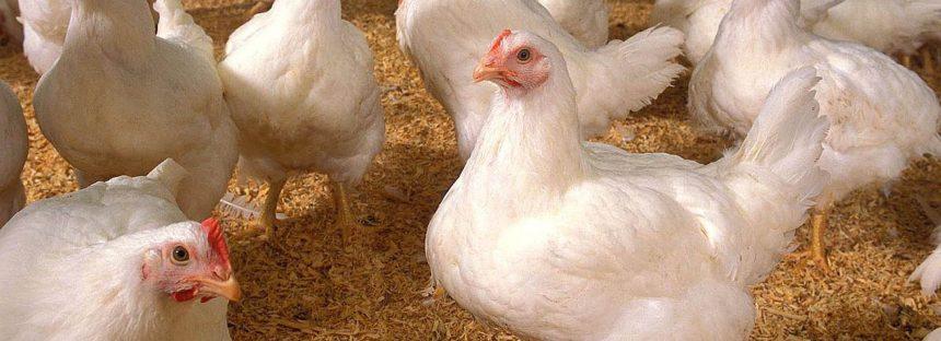 Nunca se han utilizado hormonas de crecimiento en pollos porque no son necesarias: UNAM