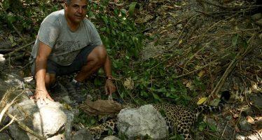 Para monitoreo, capturan jaguar (Panthera once) al sur de la Reserva de la Biósfera Marismas Nacionales Nayarit