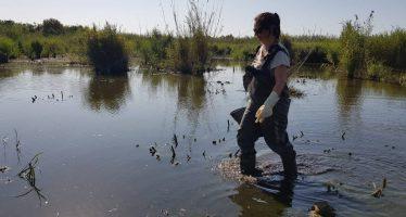 Un brote de botulismo causa la muerte ya de 488 aves en la Albufera