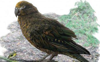 Hallados los restos de un loro gigante que habitó Nueva Zelanda hace 19 millones de años