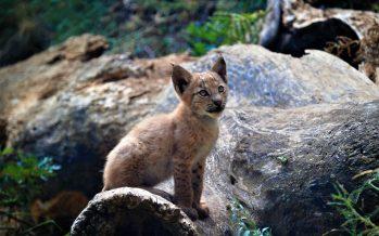 Nace el primer lince boreal en el Pirineo catalán desde hace un siglo