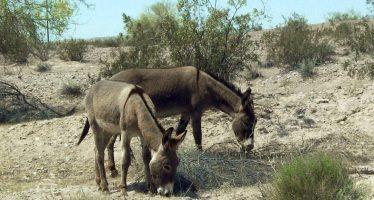 45.000 euros de recompensa por saber quién ha matado más de 40 burros en California