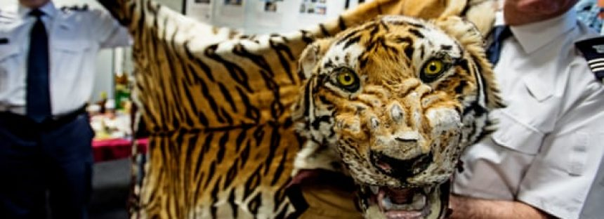 Dos tigres capturados de traficantes cada semana, según un informe