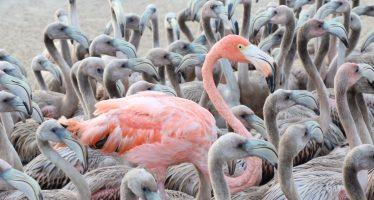 Se realiza anillamiento de flamenco rosado para monitorear a la especie