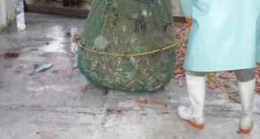 Modifican épocas y zonas de veda para camarón café (Farfantepenaeus aztecus), en el Golfo de México