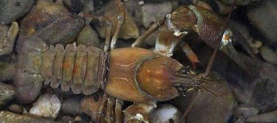 La «peste del cangrejo» sigue activa en la península Ibérica