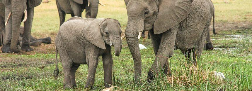 Los elefantes africanos ayudan a aumentar las existencias de carbono en la selva