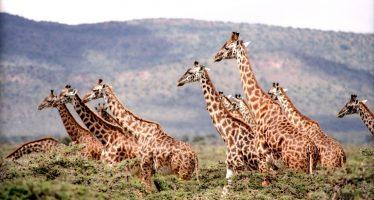 La amenaza de la «extinción silenciosa» de la jirafa en África