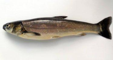 Científicos mexicanos proyectan cultivo del pez acúmara (Algansea lacustris), nativo del lago de Pátzcuaro