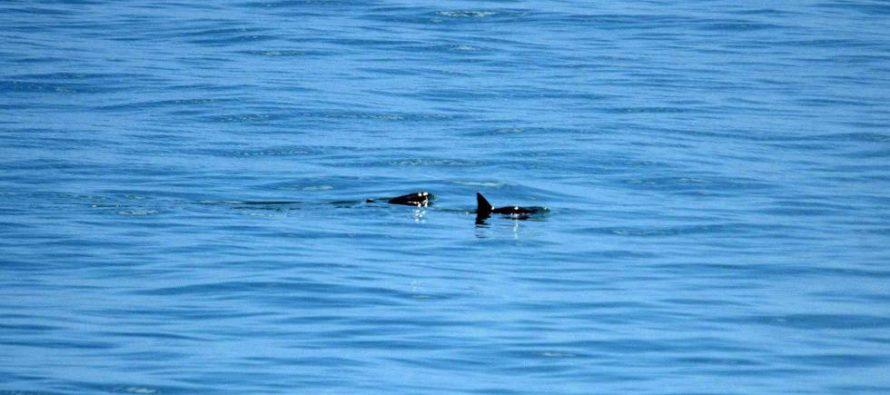 La vaquita marina rehúsa extinguirse