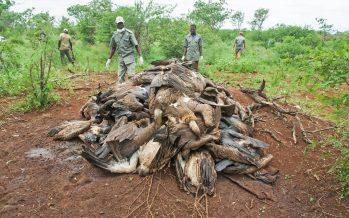 Los furtivos de elefantes envenenan a más de 1.000 buitres en África en año y medio