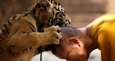 Mueren 86 tigres que fueron rescatados de un templo tailandés