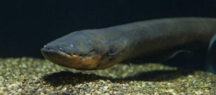 Una nueva especie de anguila eléctrica produce la mayor descarga del mundo animal: 860 voltios