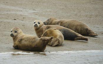 El río Támesis alberga 138 cachorros de foca, según el último recuento