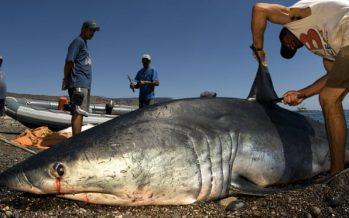 El tiburón más rápido del mundo agregado a la lista de especies vulnerables para regular el comercio