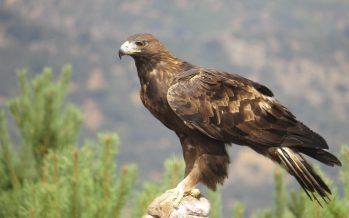 El tráfico ilegal y el cambio climático tiene amenazada al águila real
