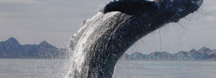 Las ballenas prestan servicios ecosistémicos por valor de 1.000 millones de dólares