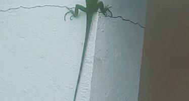 Iguana tabasqueña en Dos Bocas
