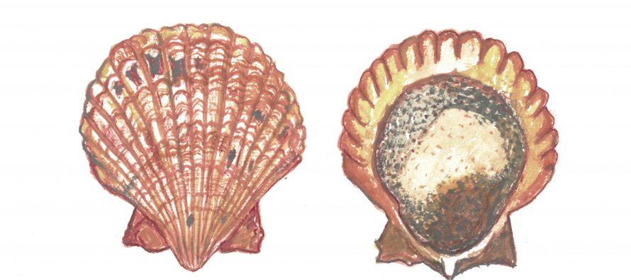 Almeja Catarina (Argopecten ventricosus), una exitosa pesquería de Baja California y Sonora