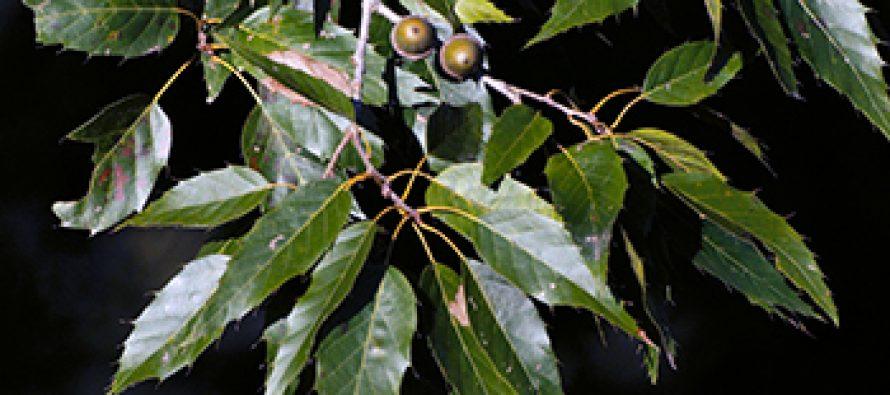 Encino (Quercus xalapensis)