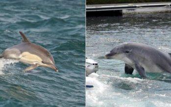 Hallado en la Bahía de Algeciras el primer delfín híbrido del mundo