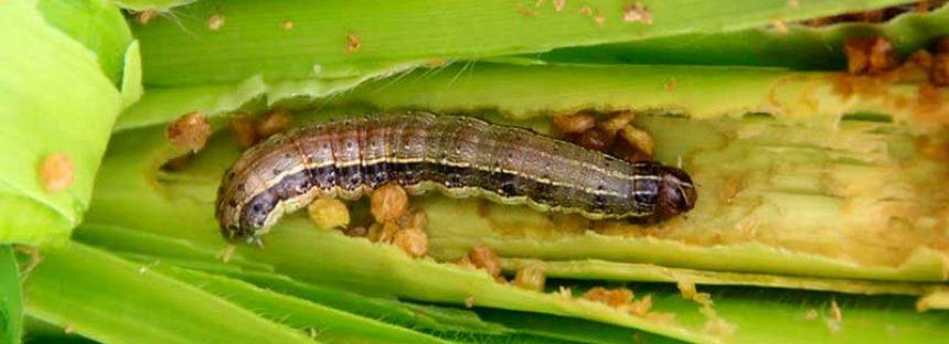 Gusano cogollero de maíz, control de plaga con visión holística
