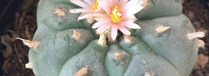 Plantas muy mexicanas con efectos sorprendentes