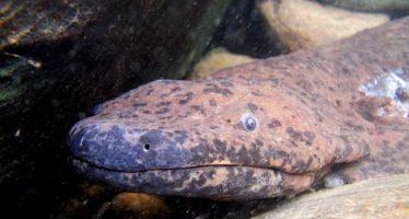 Hallan una nueva especie de salamandra gigante de dos metros, el anfibio más grande del mundo