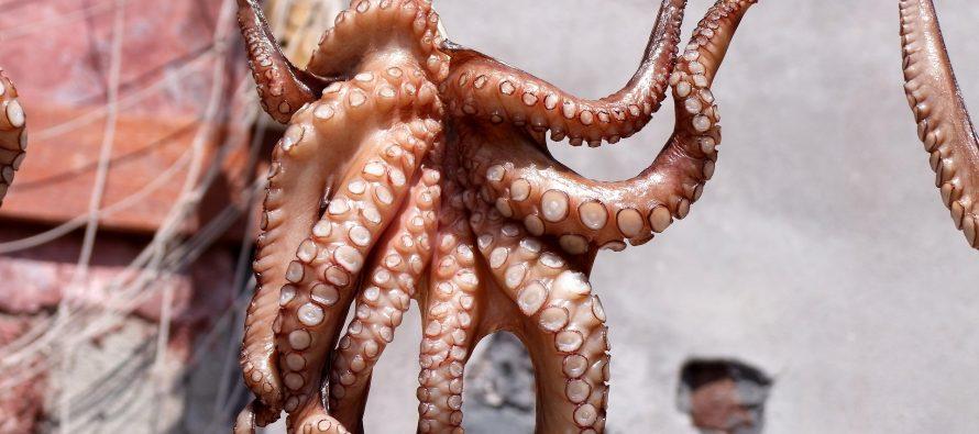 Pesquería de pulpo (Octopus maya y Octopus vulgaris) en el Golfo de México y Mar Caribe, es vital para la alimentación