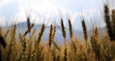 MasAgro traduce investigación básica en mayores rendimientos de trigo para México y el mundo