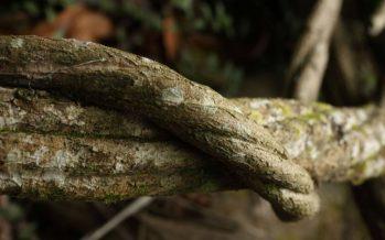 El Supremo holandés prohíbe la importación de ayahuasca