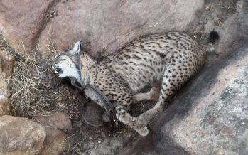 Los cazadores furtivos matan a cuatro linces en Castilla-La Mancha