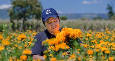 La tradicional flor de cempasúchil, la flor de muertos que embellece México