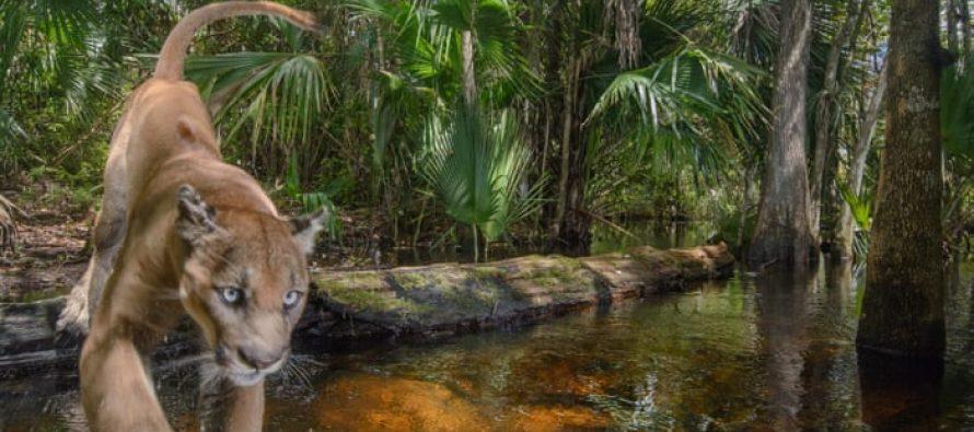 Imágenes ofrecen un vistazo a la vida de la pantera de Florida, especie en peligro de extinción