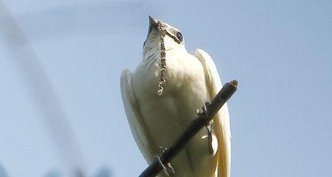 El pájaro más ruidoso del mundo vive en América del Sur y este es su canto