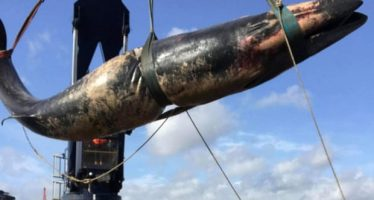 Segunda ballena encontrada muerta en el Támesis en menos de dos semanas