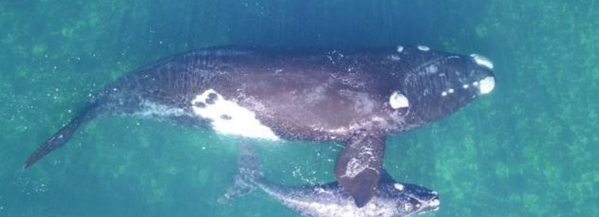 Los drones permiten pesar, por primera vez, ballenas en libertad
