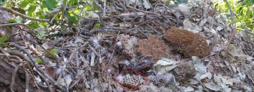 Un aliado alado para controlar la población de la avispa asiática en expansión por Europa