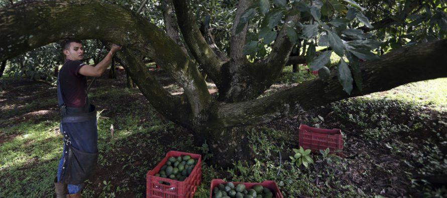El aguacate sacó de la pobreza a miles en Michoacán, pero atrajo la plaga de cárteles y criminales