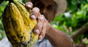 Productores de cacao pretenden