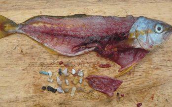 ¿En qué peces encontramos microplásticos en su organismo?