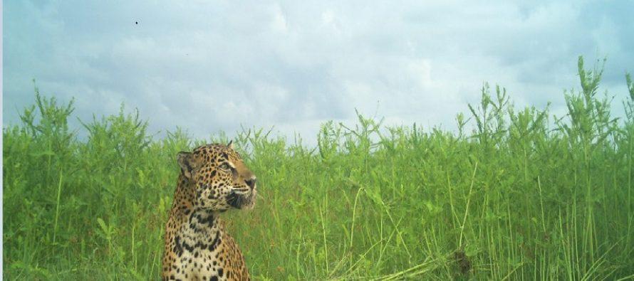 Depredación de una tortuga marina por jaguares captada en video