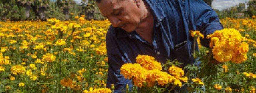 Flor de cempasúchil, terciopelo, crisantemo y nube garantizados para la temporada de Día de Muertos