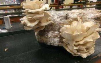 Se capacita a ejidos para la producción de hongos que crecen en los bosques templados