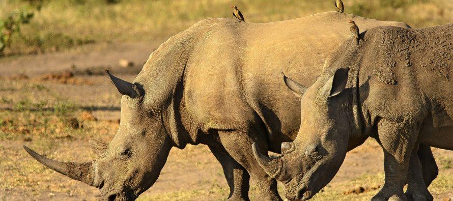 Los furtivos parecen haber fijado su atención sobre este país, un refugio para los rinocerontes