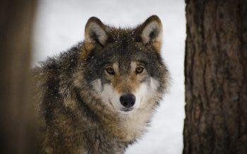 Se buscan voluntarios para recoger cacas de lobo en Canadá