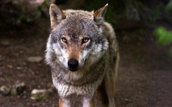 La justicia europea autoriza excepciones a la prohibición de cazar lobos si no queda otra opción y está justificado